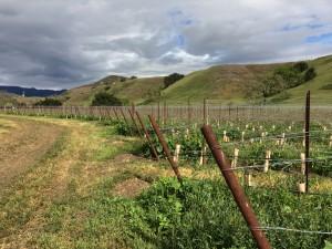 newly planted vineyard